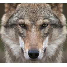 Волк Б1-078, 300*270 см